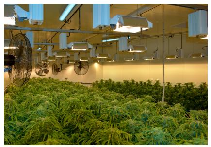 Cultivation of medicinal grade Cannabis